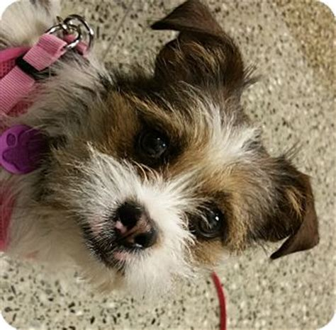 shih tzu brussels griffon mix omelette adopted 16 1 001 west dundee il