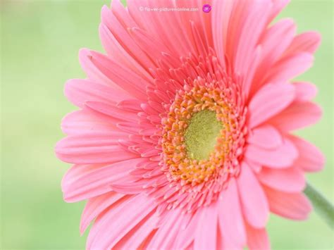 Gamis Flower 67 Pink gerbera wallpapers 67