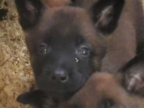 where to buy le berger chiots berger malinois youtube