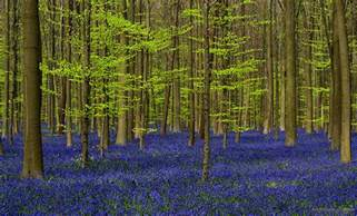 bluebell forest every this forest in belgium becomes a blue