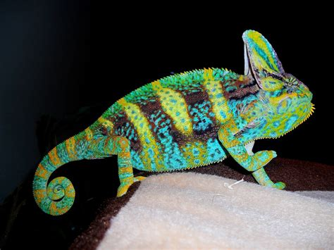 veiled chameleon facts habitat diet baby pet care pictures