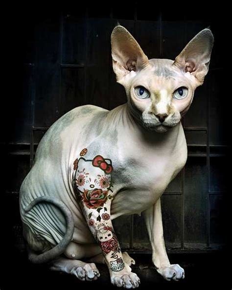 tattoo bald cat d 246 vmeli hayvanlar