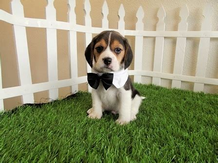beagle puppies san diego pocket beagles for sale san diego puppy 6 san diego puppy