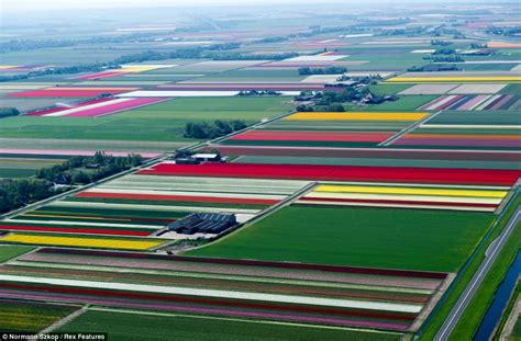 netherlands tulip fields flash bulbs aerial shots of dutch tulips in bloom are
