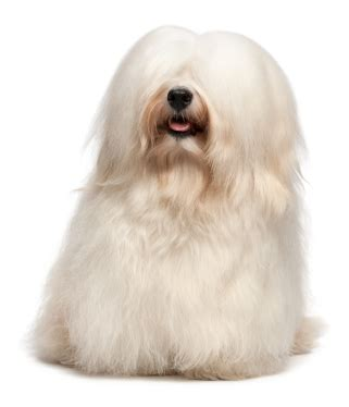 havanese breed temperament havanese dogs