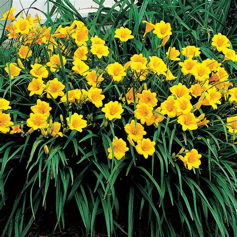 Stelan Flower stella de oro day plants on demand