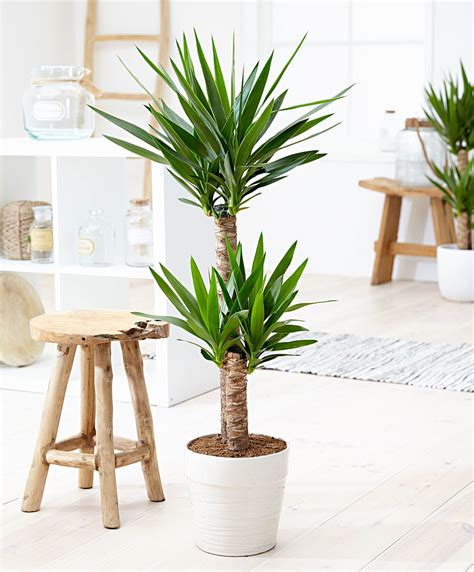 buy house plants buy house plants now yucca 2 trunks bakker