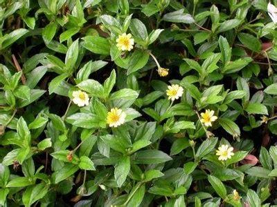 Teh Daun Frambozen lombok utara macam macam bunga yang dapat dikonsumsi khasiatnya