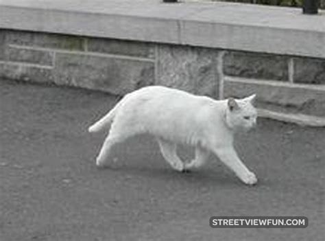 two legged streetviewfun two legged cat spotted on view