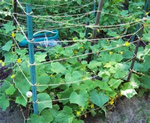 Trellis For Vines Cucumber Supports Allow Them To Grow Up Instead Of Out