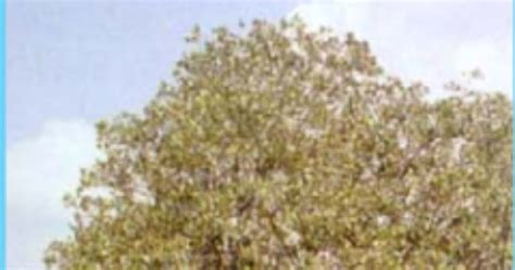 Handsock Bolbal Putih Pucat X Jingga Tua mengenal mangrove avicennia lanata ridley