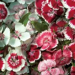 Bibit Bunga Carnation Flower Dianthus Wee Willie lobelia ship f1 hybrid egmont seed
