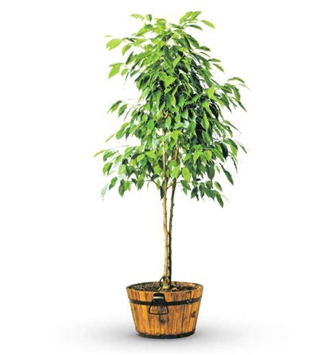 Balkonpflanzen Baum by Pflegeleichte Zimmerpflanzen Jeder Raum Verdient Sch 246 N