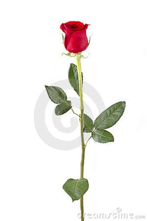 fiori a gambo lungo gambo lungo rosa fotografie stock immagine 405113