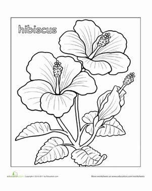 yellow hibiscus coloring page hibiscus worksheet education com
