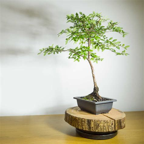 bonsai ebay pre bonsai tree corky bark elm 1001 ebay