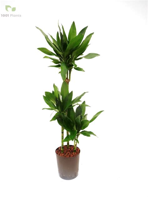 drachenbaum dracaena fragrans drachenbaum dracaena fragrans drachenbaum dracaena