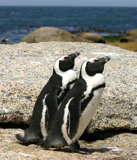 File:African penguins Boulder Bay 1.jpg - Wikimedia Commons