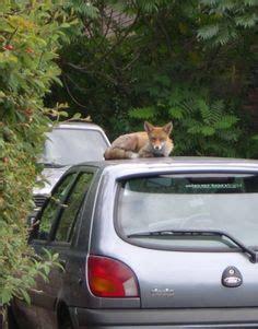 images   car fox  pinterest foxes cars