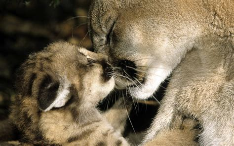 cat kiss wallpaper download the mountain lions kissing wallpaper mountain