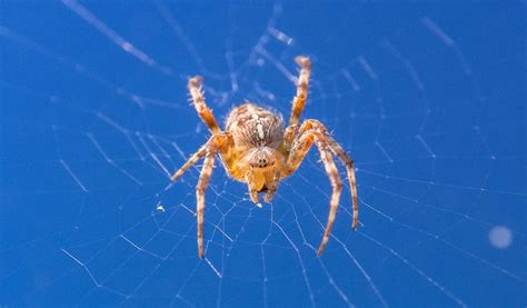 spider with yellow pattern on back uk orb weaver spiders facts pictures habitat information