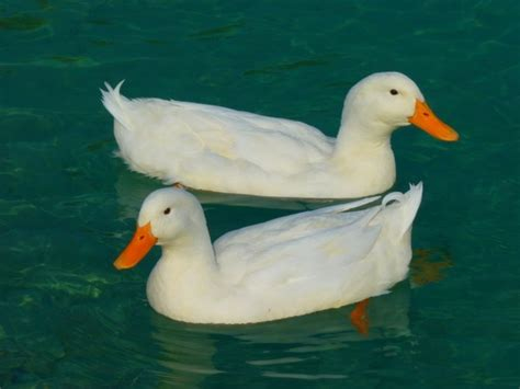 water a duck darley novel books duck white duck ducks free stock photos in jpeg jpg