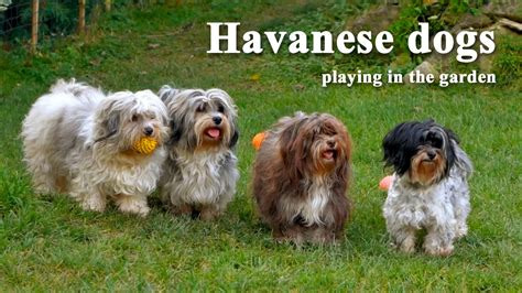 havanese books havanese breeders all about havanese breeders