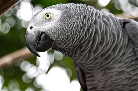 african grey inherited traits l aviary