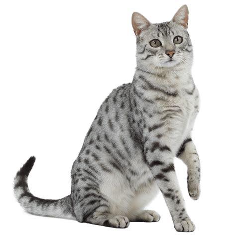 Cha T chat mau egyptien chat et chaton fiche de race du chat