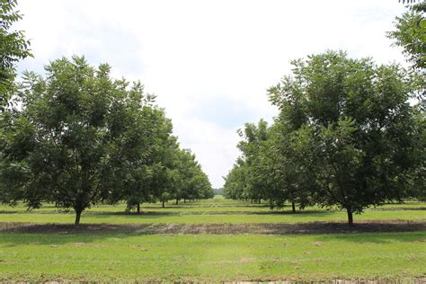 the company of trees a year in a lifetimeâ s quest books pecan tree growth national pecan company