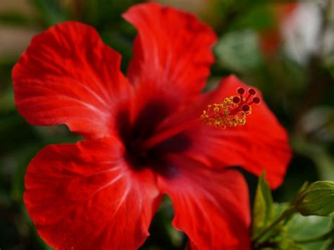was ist hibiskus 4246 was ist hibiskus pflege hibiskus hibiskus pflege