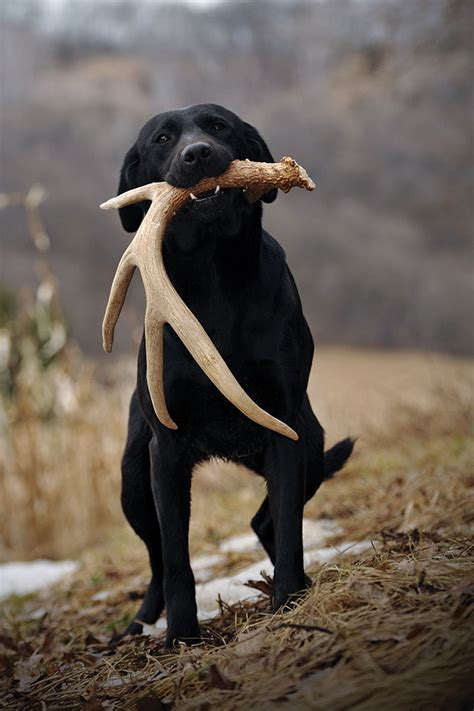 how to your to shed hunt shed dogs