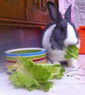 Harga Pelet Kelinci Per Kilo memelihara kelinci di rumah kelinci sebagai hewan
