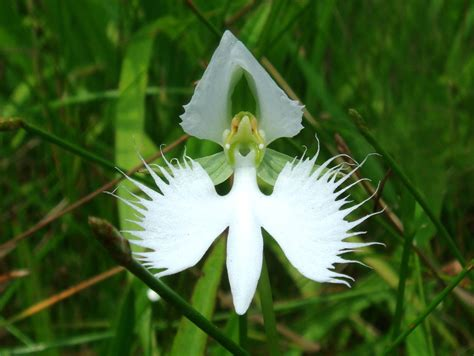 orchid facts facts about the white egret orchid orchids plus