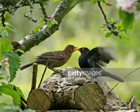 blackbird feeding baby stock photo getty images