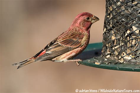 difference between house finch and purple finch difference between purple finch and house finch 28