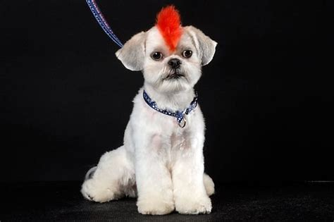 mohawk shih tzu more shih tzus should get mohawks my has a mohawk and she s the same