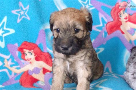 whoodle puppies for sale near me whoodle puppy for sale near los angeles california 041b9af7 c881