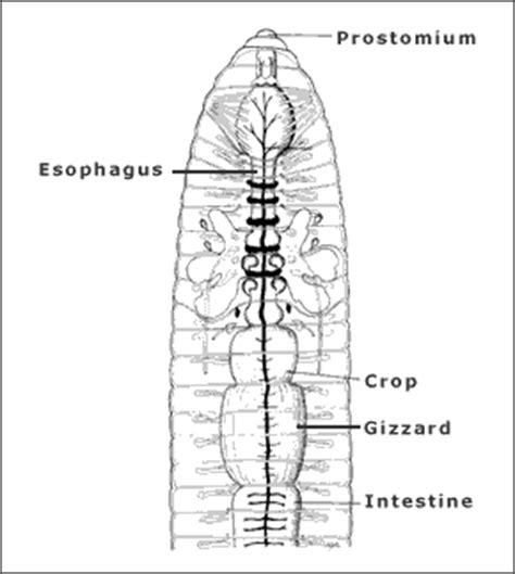 yhsbiology annelida