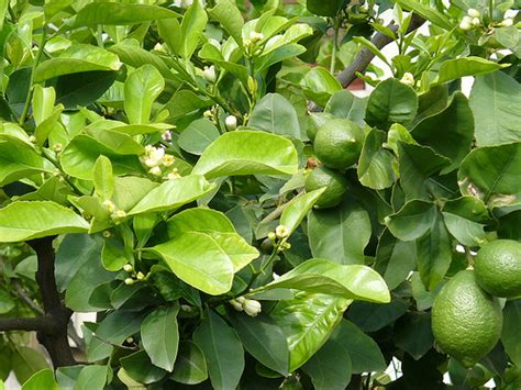 lime fruit trees lime fruit trees flickr photo