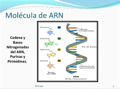 cadena de adn bases nitrogenadas biolog 237 a molecular 97 2003