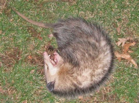 how do you a to play dead you really don t need that opossum trap effective wildlife solutions