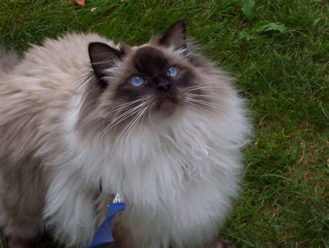 ragdoll cat size ragdoll cat size cake rusts cats picture pictures
