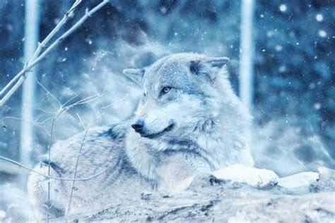 breathtaking wolf  pexels  stock