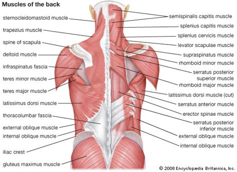 back muscles diagram image gallery lower back muscles