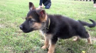 belgian shepherd 5 months pics photos baby german shepherd puppies