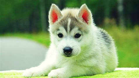 puppy background dogs and puppies wallpapers wallpaper cave