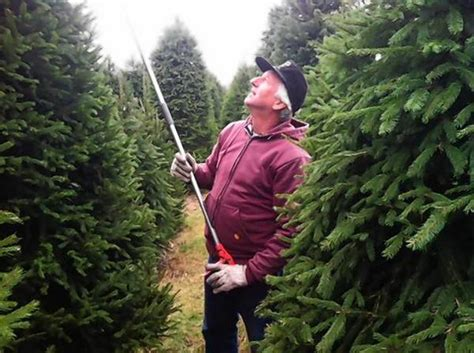 drought affects christmas tree farms but customers