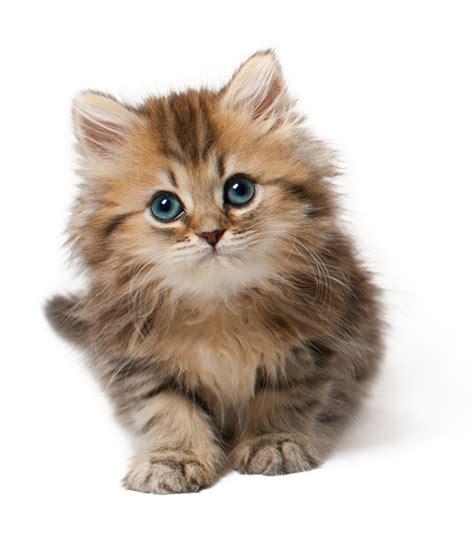 cat wallpaper graphic kitten png image transparent file