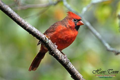 canadian nature visions northern cardinal
